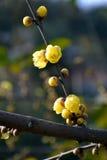 China very beautiful plum Stock Image