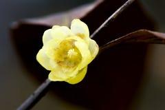 China very beautiful plum Royalty Free Stock Photography