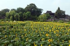 China village near the sunflower Stock Photo