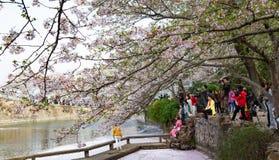 China Wuxi Shantou Cherry Blossom Festival imagem de stock royalty free