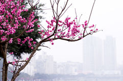 China& x27 όμορφο δαμάσκηνο του s Στοκ Εικόνα