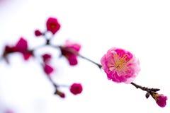 China& x27; härlig plommon för s Royaltyfria Bilder