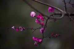 China& x27; härlig plommon för s Fotografering för Bildbyråer