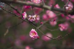 China& x27; härlig plommon för s Arkivfoton