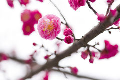 China& x27; härlig plommon för s Royaltyfri Bild