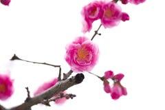 China& x27; s piękna śliwka Zdjęcie Royalty Free
