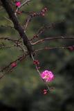 China& x27; s piękna śliwka Zdjęcie Stock
