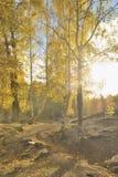 China/Xinjiang: birchwoods en hemu Imagen de archivo