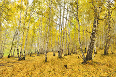 China/xinjiang: birchwoods in hemu Royalty Free Stock Photos