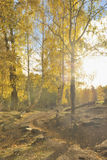 China/xinjiang: birchwoods in hemu Stock Image