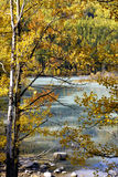 China/xinjiang: stream flowing arcoss the autumn trees Stock Photography