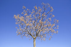 Chinaberry melia drzewo fotografia stock
