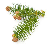 Chinafir Royalty Free Stock Photography