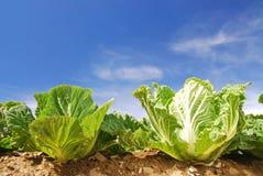 Chinakohl, frisches, freies, grünes Gemüse. Stockfoto