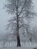 Chinar-Baum Lizenzfreies Stockfoto