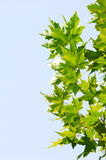 Chinar leaf Stock Image