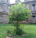Chinar Tree - The speaking tree of kashmir Stock Photo