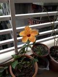 Chinarose arancio Immagine Stock Libera da Diritti