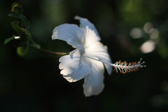 Chinarose blanco (Hibisco) Imagen de archivo
