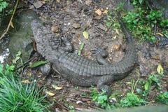 Chinas Hangzhou Zoo_Alligator Lizenzfreie Stockfotografie