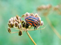 Chinch (Graphosoma lineatum). Stock Photo