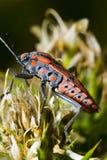 Chinch pluskwa (Spilostethus pandurus) Obraz Royalty Free