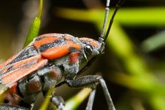 Chinch pluskwa (Spilostethus pandurus) Fotografia Stock