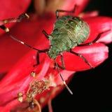 Chinche hedionda en la flor roja Fotos de archivo libres de regalías