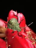 Chinche hedionda en la flor roja Imagen de archivo