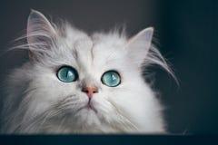 Chinchila branca do gato Animal de animal de estimação bonito macio com Imagem de Stock Royalty Free