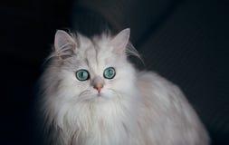 Chinchila branca do gato Animal de animal de estimação bonito macio com Fotografia de Stock Royalty Free