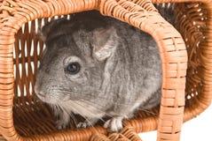 Chinchila cinzenta que senta-se em uma cesta Fotografia de Stock