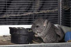 Chinchila do animal de estimação do bebê na gaiola Imagem de Stock