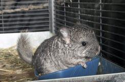 Chinchila do animal de estimação do bebê na gaiola Fotos de Stock Royalty Free