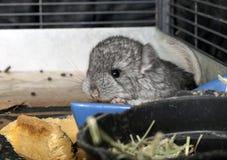 Chinchila do animal de estimação do bebê na gaiola Fotografia de Stock Royalty Free