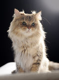 Chinchila do gato Foto de Stock Royalty Free