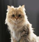 Chinchila do gato Fotografia de Stock