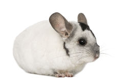 Chinchila, isolated on a white background Royalty Free Stock Photo