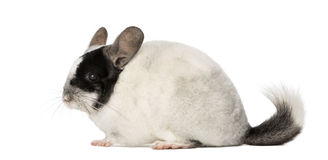Chinchila, isolated on a white background Stock Photos