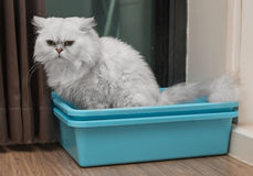 Chinchila persian cat using toilet, litter box, for pooping or urinate. Thailand Royalty Free Stock Photography