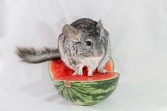 Chinchila que senta-se em uma fatia de melancia Fotografia de Stock Royalty Free