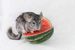 Chinchila que senta-se em uma fatia de melancia Foto de Stock Royalty Free