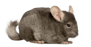 Chinchilla, 1 year old, Royalty Free Stock Photo