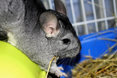 Chinchilla Royalty-vrije Stock Foto's