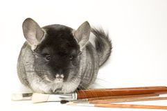 chinchilla Royaltyfri Fotografi