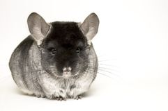 chinchilla Royaltyfria Foton