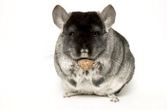 chinchilla Royaltyfria Bilder