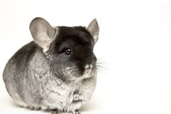 Chinchilla stock afbeelding