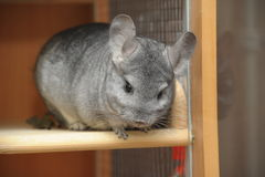 Chinchilla Royalty Free Stock Photography