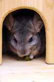 Chinchilla Stock Photos